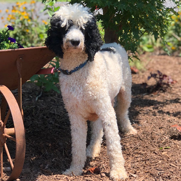 Goldendoodle Puppies for Sale in Virginia by Debs Doodles