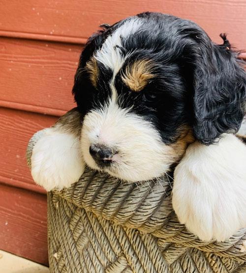 Bernedoodle Puppies For Sale In Virginia By Debs Doodles