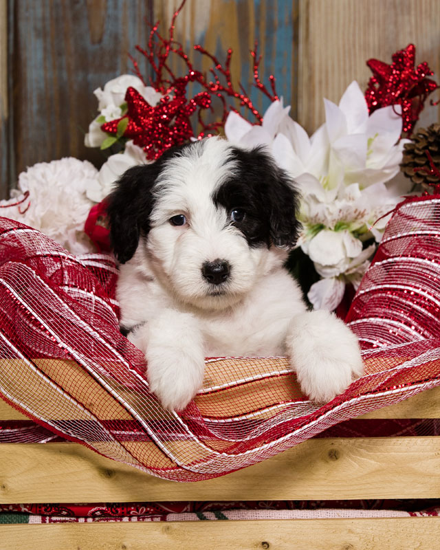 Sheepadoodle Puppy Gallery in Virginia by Debs Doodles