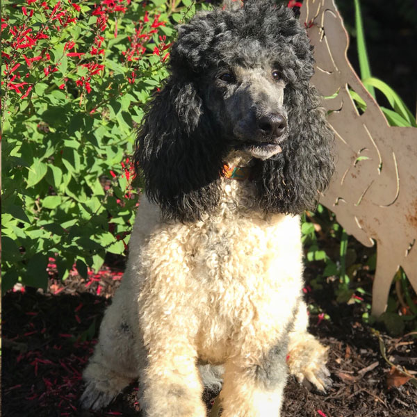 Cowgirl - AKC Standard Poodle