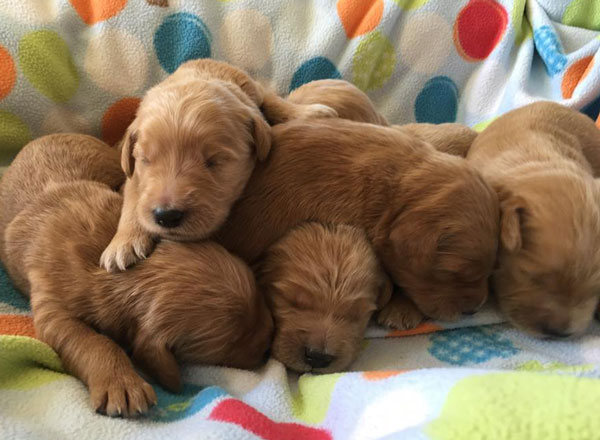 Goldendoodle Puppy Information by Debs Doodles in Virginia
