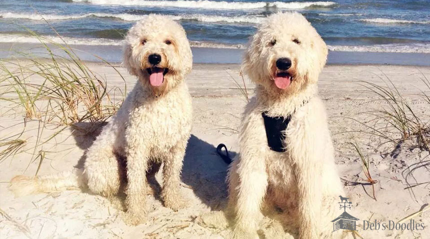 Goldendoodle Puppies for Sale in Virginia