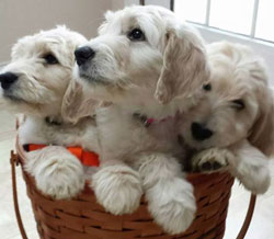 Goldendoodle Litters