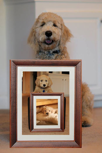 Goldendoodle Photos