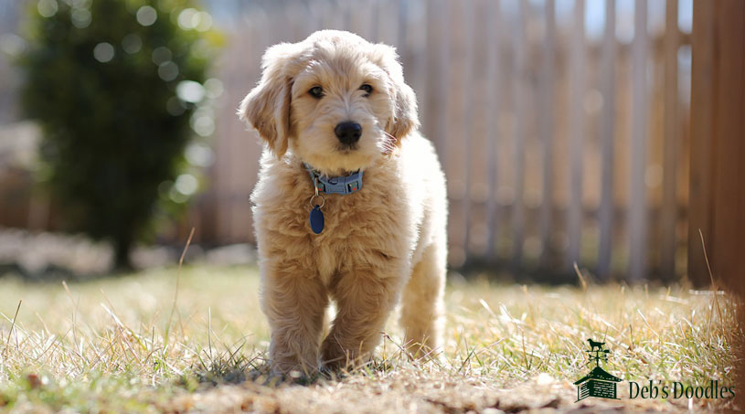 Goldendoodle Puppies in Northern Virginia by Debs Doodles