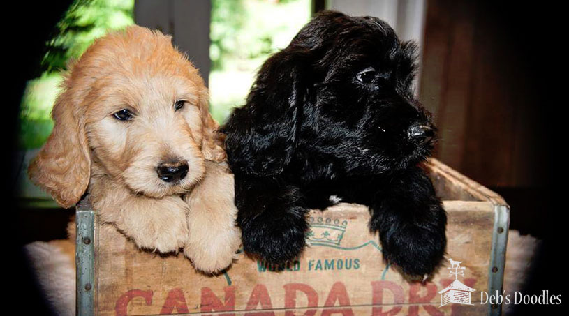 Goldendoodle Puppies in Charlotte, NC by Debs Doodles