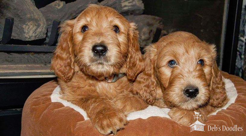 Goldendoodle Puppies in Washington DC by Debs Doodles
