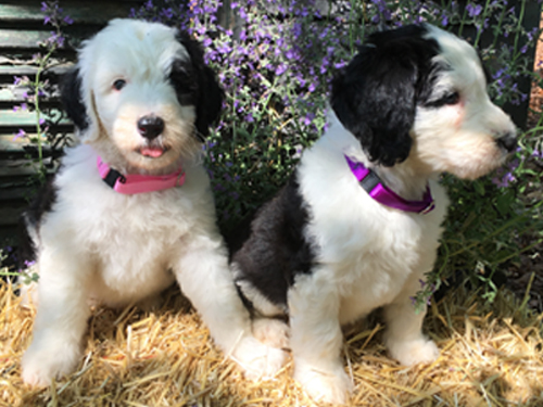Goldendoodle Puppies in Virginia by Deb's Doodles