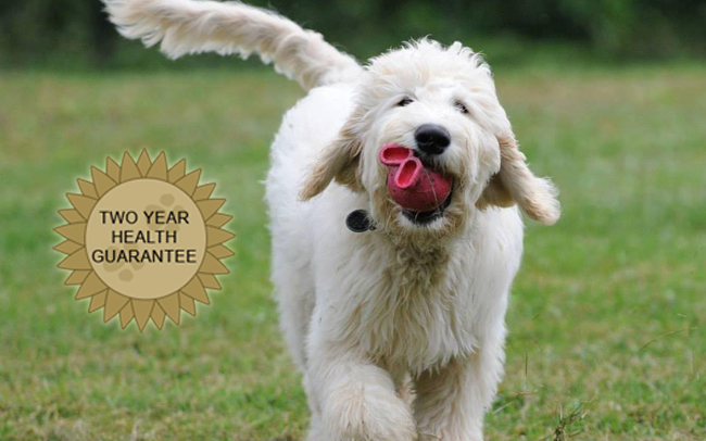 Choose Deb's Doodles as the Best Virginia Goldendoodle Breeder