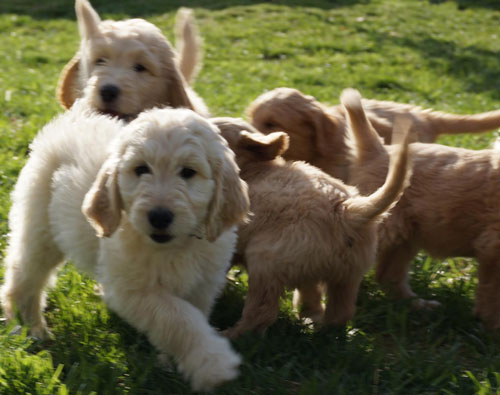 Companion Goldendoodle