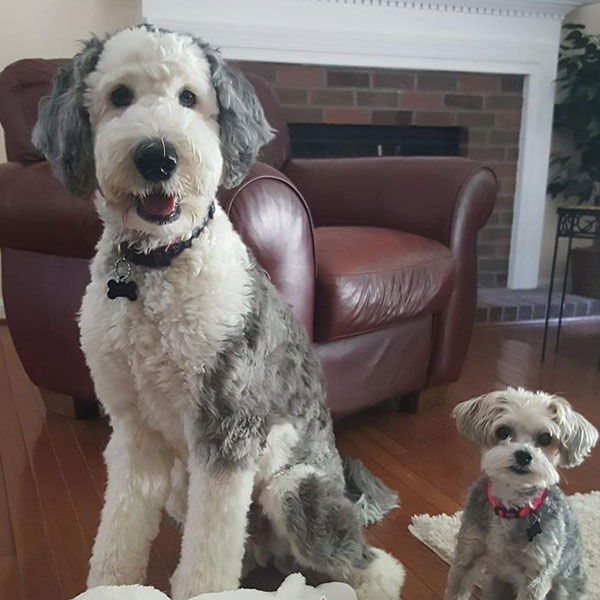 Sheepadoodle Puppies for Sale in Virginia by Debs Doodles