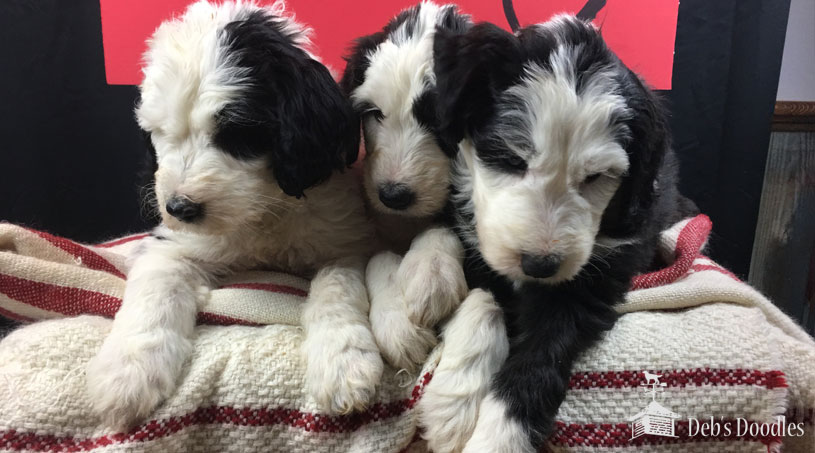 Sheepadoodle Puppies in Virginia by Debs Doodles