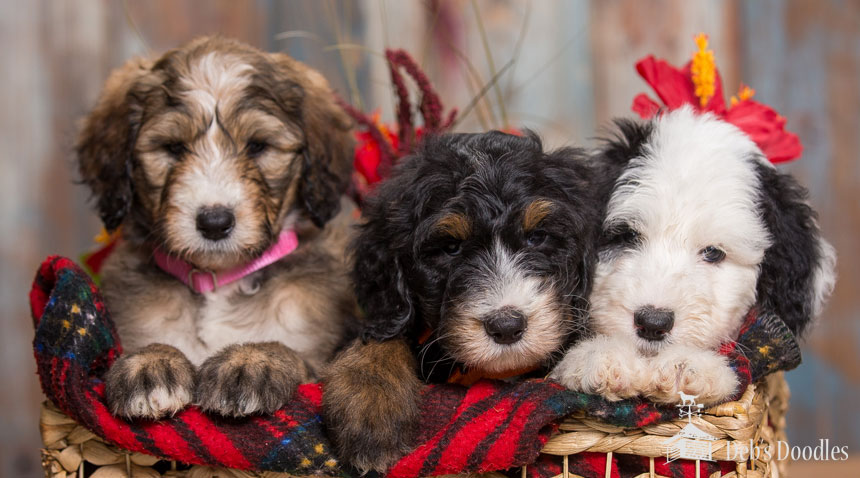 Goldendoodle Puppies in Virginia by Debs Doodles