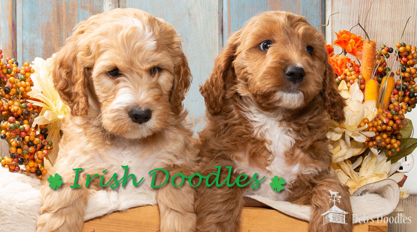 Irish Doodle, Goldendoodle and Sheepadoodle Puppies in