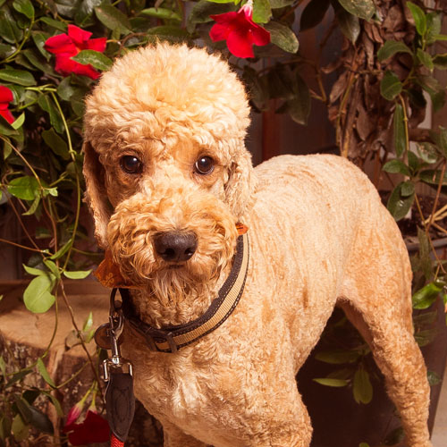 Goldendoodle Dad