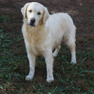 Paisley - AKC English Golden Retriever