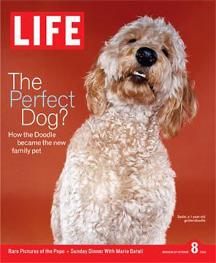 Life Magazine says Goldendoodles may be perfect dog