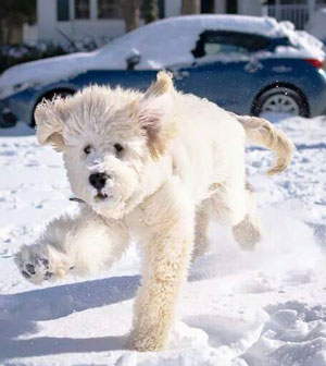 goldendoodle puppy playing in snow
