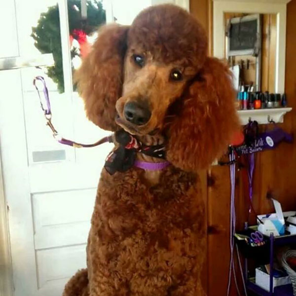 AKC Standard Red Poodle