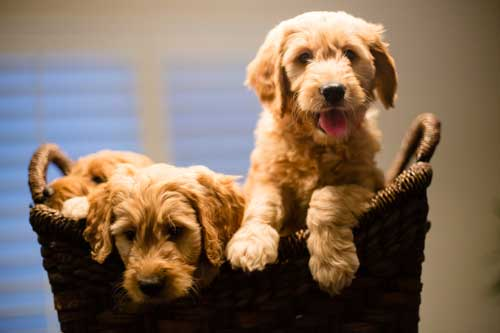 available mini goldendoodle puppies