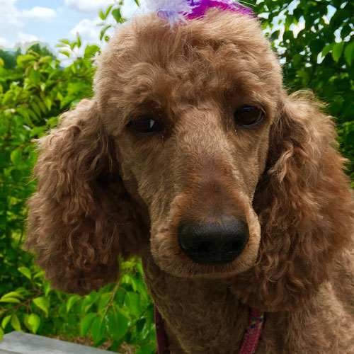 Goldendoodle Mom