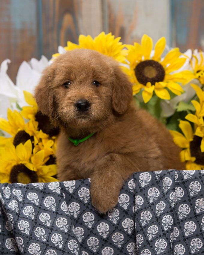 goldendoodle puppy for sale in northern virginia