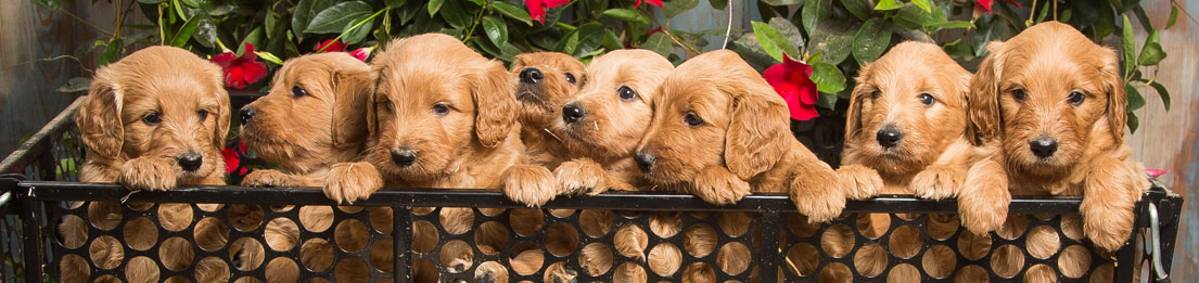 Goldenoodle Puppies