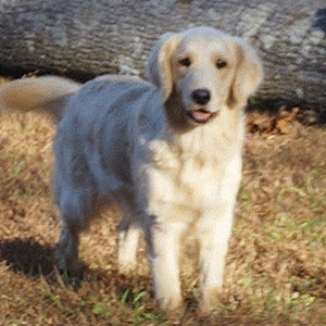 Tanner - AKC Golden Retriever