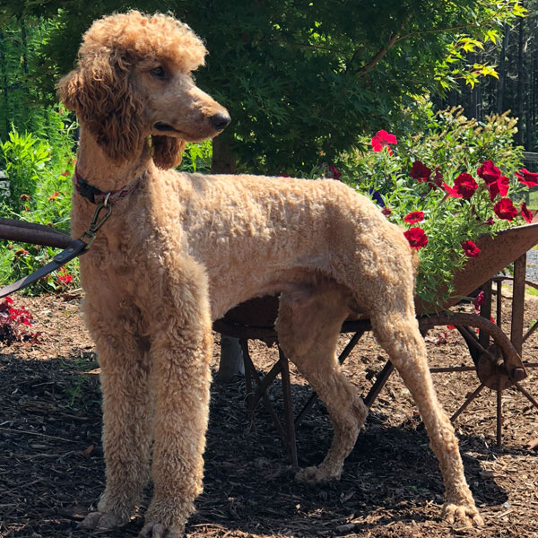 Goldendoodle Dams and Sires by Debs Doodles