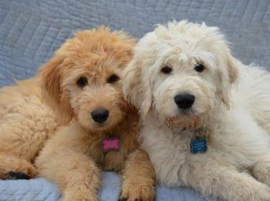 two goldendoodle puppies from Deb's Doodles in Virginia