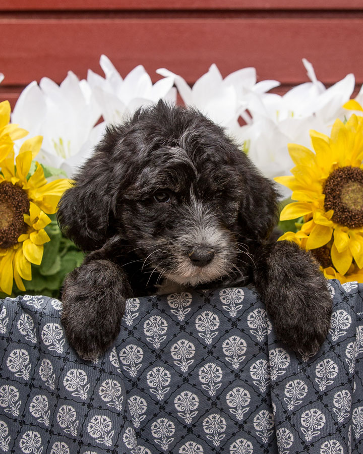 sheepadoodle puppy for sale in northern virginia